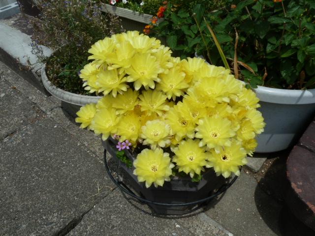 花の数が多すぎて、サボテン本体が見えません。今年は凄すぎて言葉を失いました。すごいパワーです。